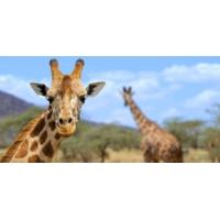 Logo du podcast Girafe: Une icône de l'Afrique est en danger