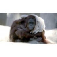 Logo of the podcast This orangutan's 'personhood' victory brings hope to US animal rights movement