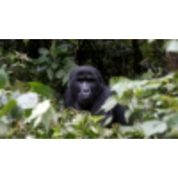 Logo of the podcast Gorilla conservation's latest threat: COVID-19 from tourists