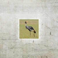 Logo of the podcast Episode 51: Birding in Uganda, Part I
