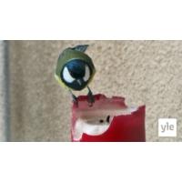 Logo du podcast Luontoilta: Tintti herkuttelee steariinilla - onko se terveellistä?