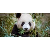 Logo du podcast Touche pas à mon panda!