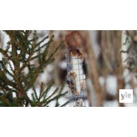 Logo du podcast Luontoilta: Orava kahlekuninkaana