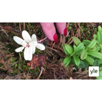Logo du podcast Luontoilta: Löysin albiinopuolukan - miten yleisiä albiinolöydökset kasveissa ovat?