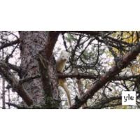 Logo du podcast Luontoilta: Valkoinen minkki sähisi puussa