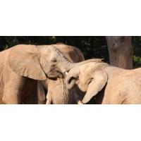 Logo of the podcast Afrique du Sud : guerre totale contre le braconnage des éléphants