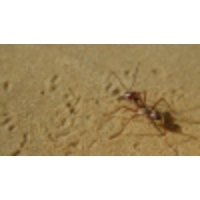 Logo of the podcast Meet the fastest ants in the world: Saharan silver ants