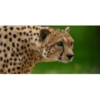 Logo du podcast Menaces sur les guépards!