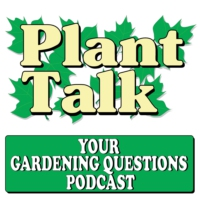 Logo du podcast Why Are Potted Tomato Plants Wilting?